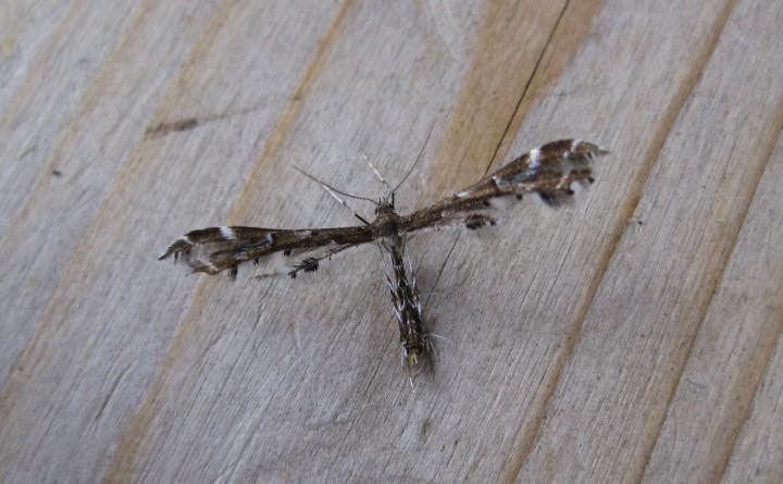 Capperia britanniodactyla Copyright: Stephen Rolls