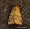 Pink-barred sallow  Xanthia togata 2 Copyright: Graham Ekins