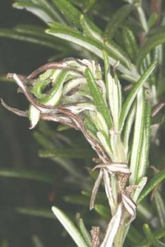 Chrysolina americana possible gall on rosemary