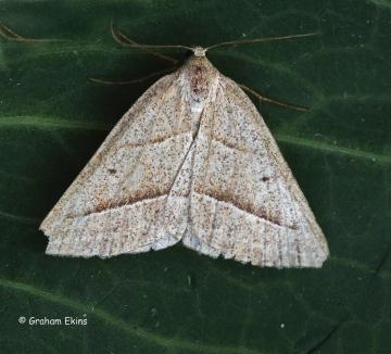 Brown Silver-line Petrophora chlorosata Copyright: Graham Ekins