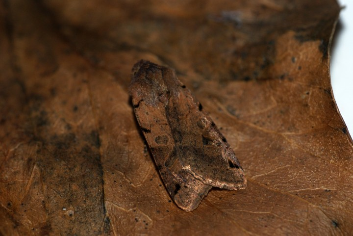 Brown-spot Pinion 3 Copyright: Ben Sale