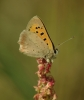 Small Copper - 20th August 2013 Copyright: Ian Rowing