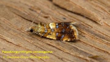 Pseudargyrotoza conwagana 4 Copyright: Graham Ekins