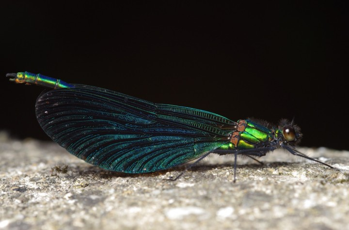 Beautiful demoiselle Copyright: James Northfield