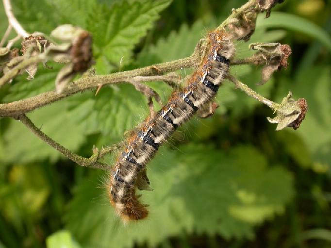 Oak Eggar Moth Larva Copyright: Malcolm Riddler