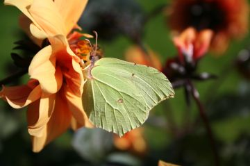 Brimstone Copyright: Peter Harvey