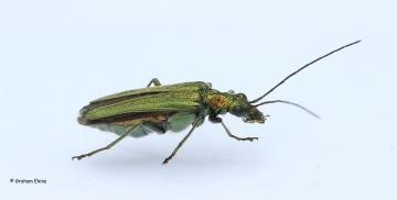 Oedemera nobilis (Swollen-thighed Flower Beetle) Copyright: Graham Ekins