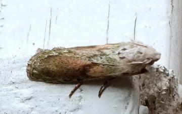 Bee Moth (Aphomia sociella) Copyright: Peter Pearson