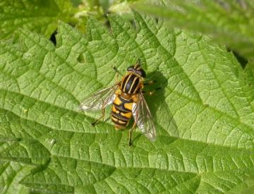 A hoverfly - Helophilus sp Copyright: Malcolm Riddler
