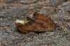 Coxcomb Prominent  Ptilodon capucina 1 Copyright: Graham Ekins