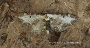 Eupithecia succenturiata  Bordered Pug Copyright: Graham Ekins