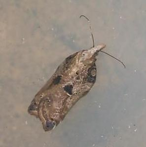 Acleris cristana 5 Copyright: Ben Sale