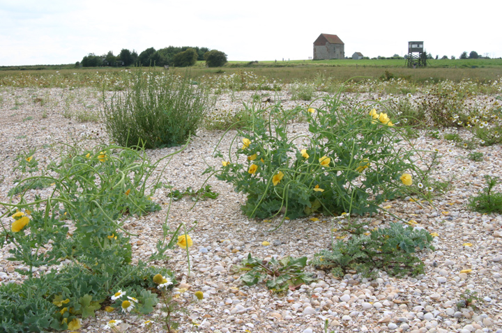 Glaucium flavum at Bradwell-on-Sea Cockle Spit Copyright: Chris Cater, Aug 2004