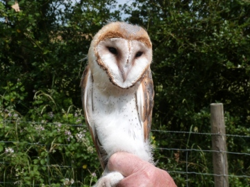 Barn Owl Copyright: Graham Smith