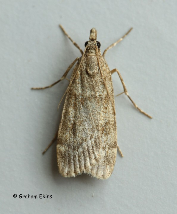 Scoparia subfusca 2 Copyright: Graham Ekins
