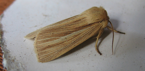 Common Wainscot. Copyright: Stephen Rolls