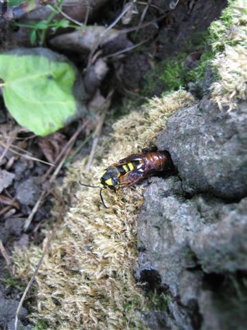 Hornet Moth3 Copyright: Stephen Rolls