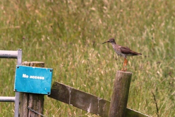 Redshank Copyright: Graham Smith