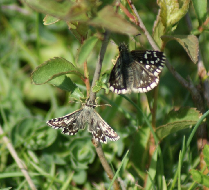 Grizzled Skipper (courtship) Copyright: Robert Smith