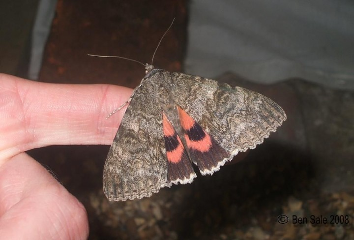 Red Underwing 3 Copyright: Ben Sale