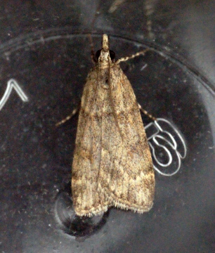 Scoparia subfusca Copyright: Ben Sale