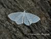 Small White Wave  Asthena albulata Copyright: Graham Ekins
