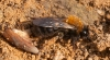 Andrena clarkella Copyright: Jeremy Dagley