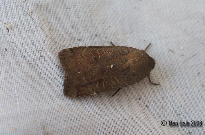 Lesser Yellow Underwing 3 Copyright: Ben Sale
