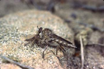 Machimus cingulatus Copyright: Peter Harvey