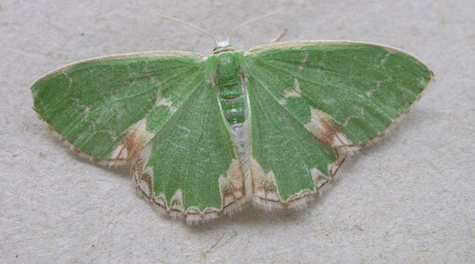 Blotched Emerald 3 Copyright: Martin Anthoney