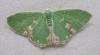Blotched Emerald 3 Copyright: Martin Anthoney