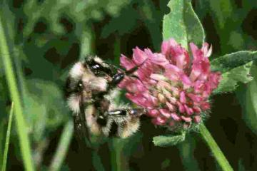 Bombus sylvarum on Red Clover