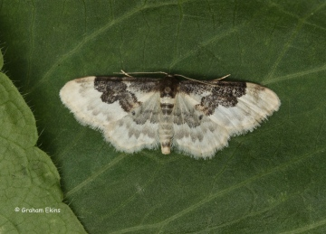 Least carpet Idaea rusticata Copyright: Graham Ekins