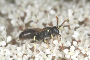 Hylaeus annularis Copyright: Peter Harvey