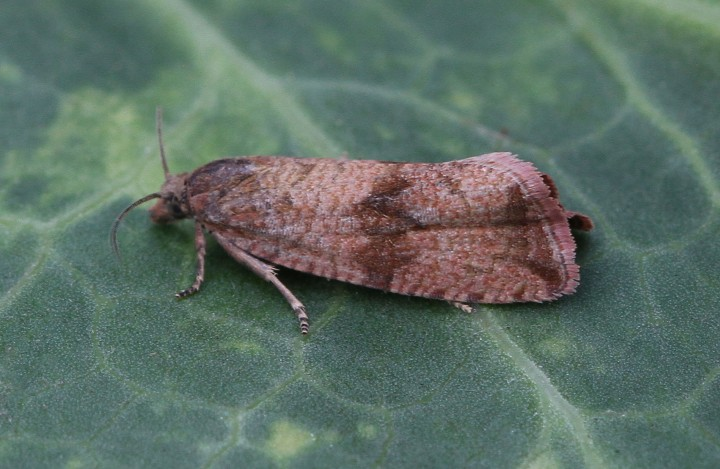 Celypha striana 6 Copyright: Graham Ekins