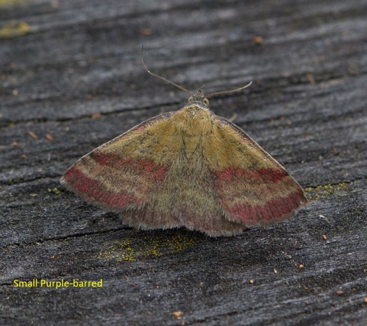 Small Purple Barred Copyright: Graham Ekins