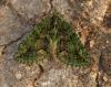 Red-green Carpet  Chloroclysta siterata Copyright: Graham Ekins