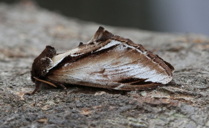 Lesser Swallow Prominent  Pheosia gnoma Copyright: Graham Ekins