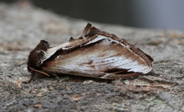 Lesser Swallow Prominent  Pheosia gnoma Copyright: Graham Ekins