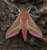 Elephany Hawk-moth Deilephila elpenor Copyright: Graham Ekins