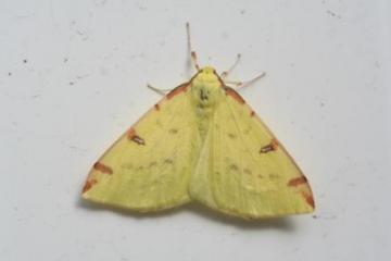 Opisthograptis luteolata Copyright: Peter Harvey