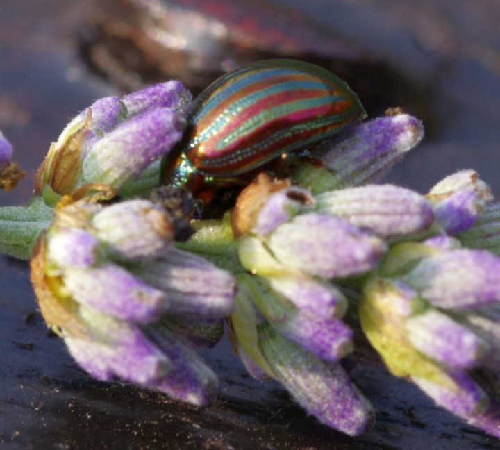Rosemary Beetle on Lavender Copyright: Ronald West