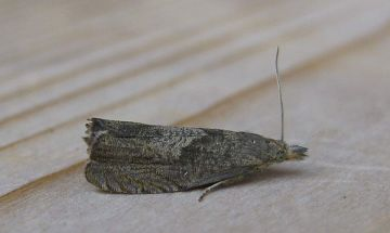 Dichrorampha acuminatana. Copyright: Stephen Rolls