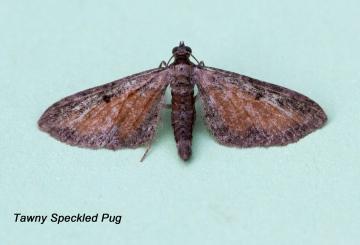 Tawny-speckled Pug  Eupithecia icterata Copyright: Graham Ekins