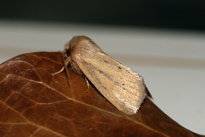 Small Wainscot 2 Copyright: Ben Sale