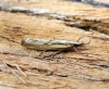 Agriphila inquinatella Copyright: Ben Sale