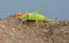 Southern Oak Bush Cricket Copyright: Graham Ekins