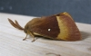Oak Eggar 2 Copyright: Stephen Rolls