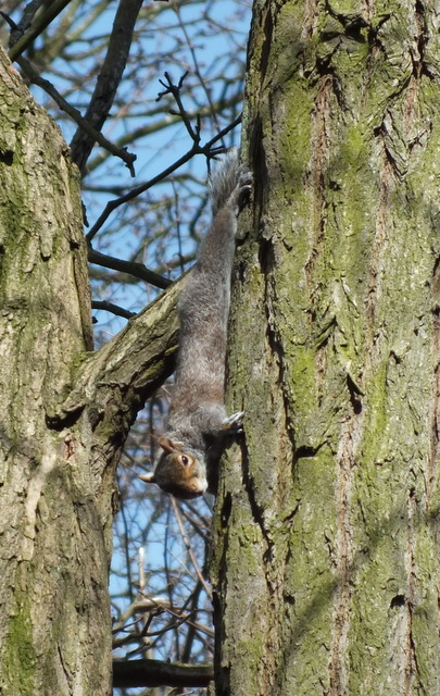 Grey Squirrel  Sciurus carolinensis Copyright: Peter Pearson
