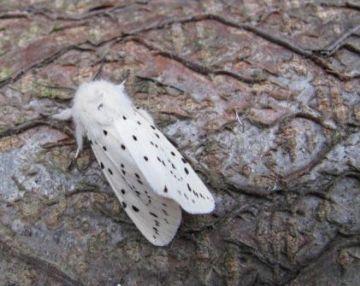 White Ermine Moth Copyright: Graham Smith